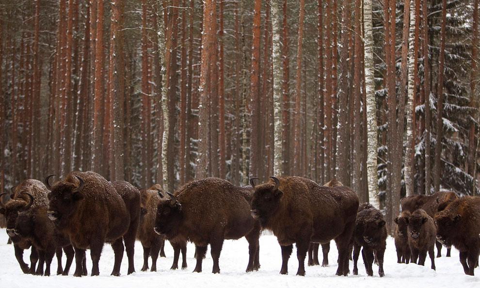 Зубры в Налибокской пуще — лесном массиве в Белоруссии