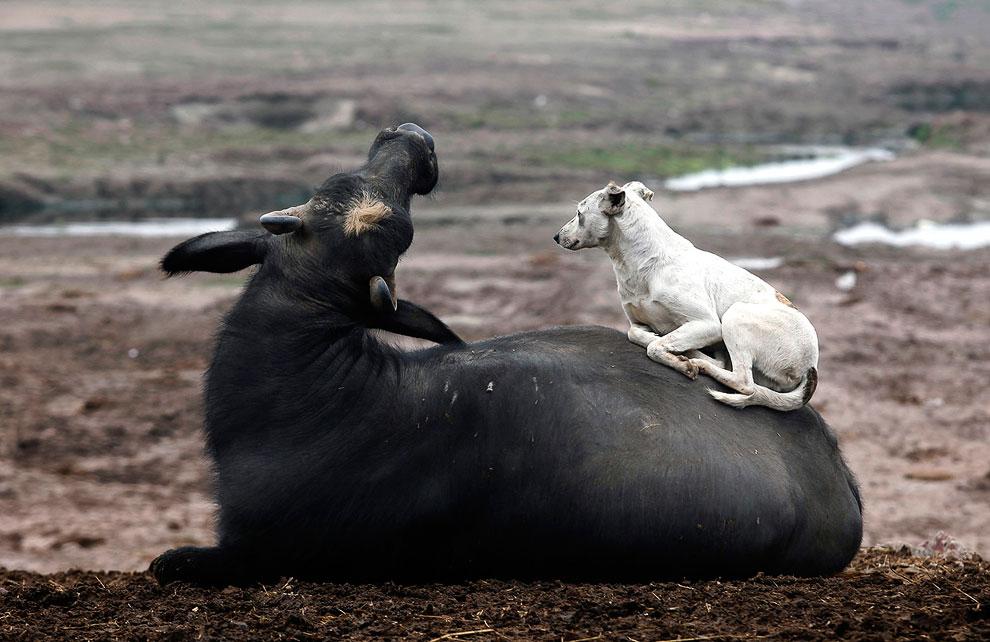 Собака и бизон у города Лахор