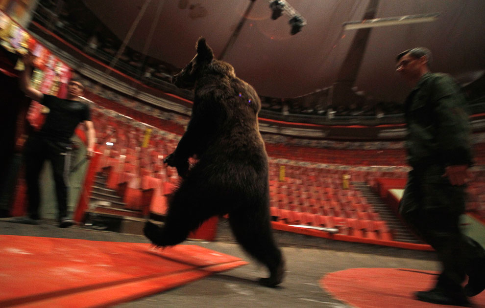 Звезда бродячего цирка 11-летная медведица Маша во время репетиции