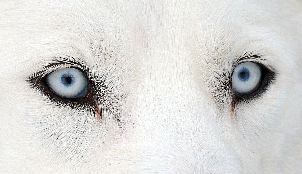 Глаза собаки породы хаски. 23 февраля 2013 в Германии прошли гонки на собачьих упряжках