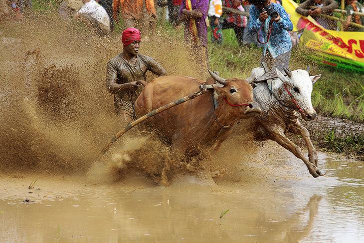 индия, гонки на быках