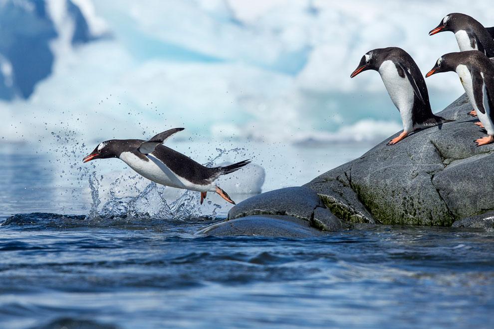 работы к чему снятся пингвины много на льдинах при