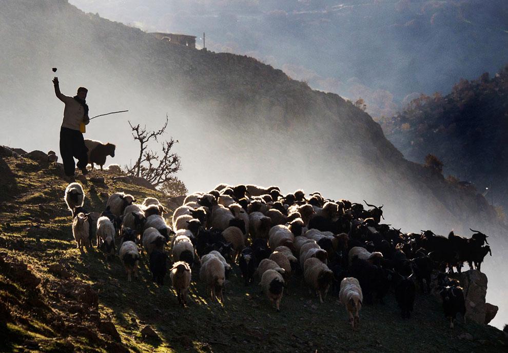 Пастух ведет свое стадо на пастбище в горах на Ирано-Иракской границе
