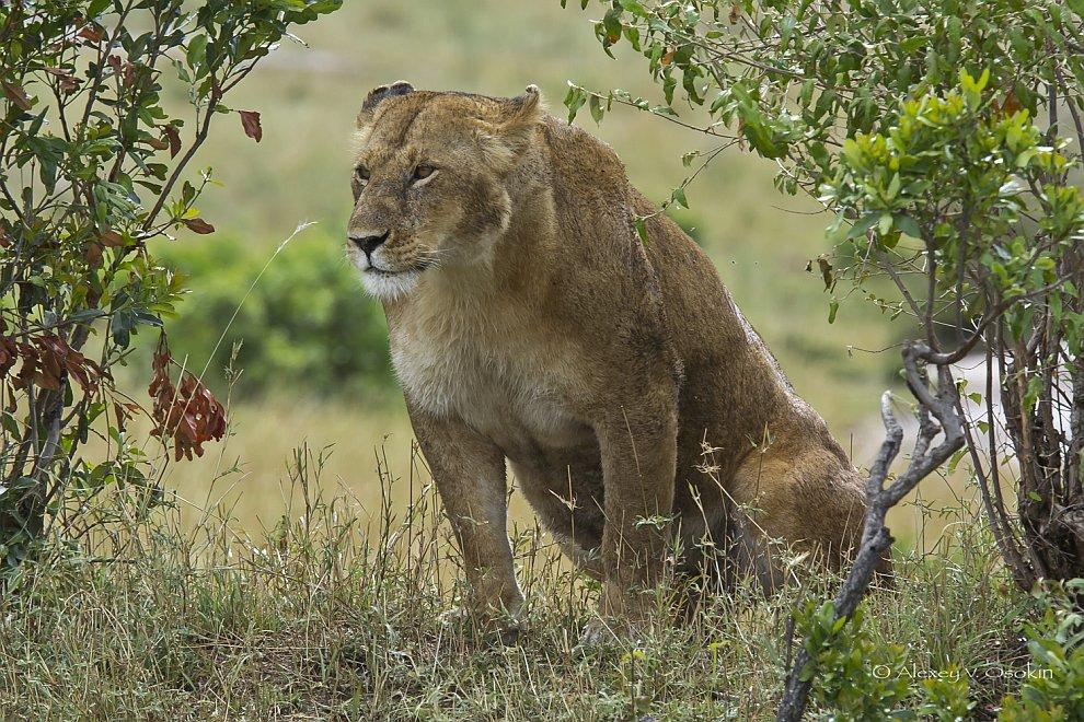 Африканские львы