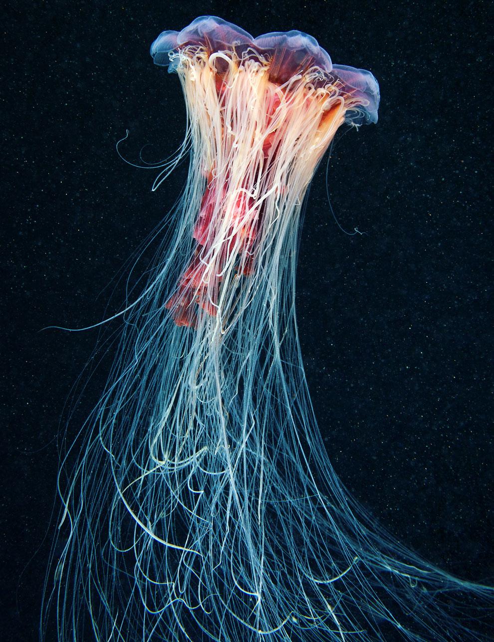 Волосиста цианея (лат. Cyanea capillata)