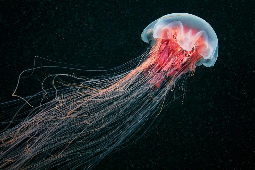 медузи