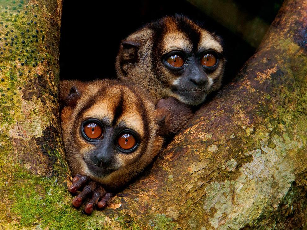 Ночные обезьяны, Эквадор