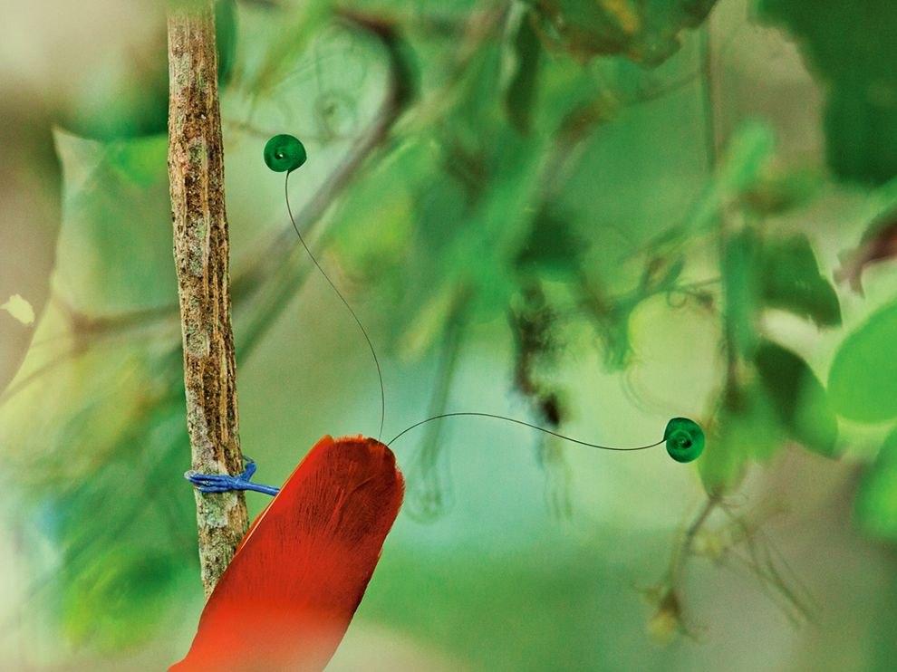 Королевская райская птица на виноградной лозе