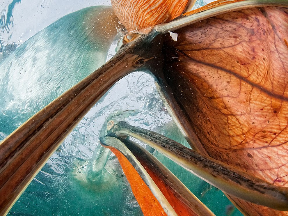 Кудрявый пеликан пытается проглотить объектив «рыбий глаз», озеро Керкини, Греция