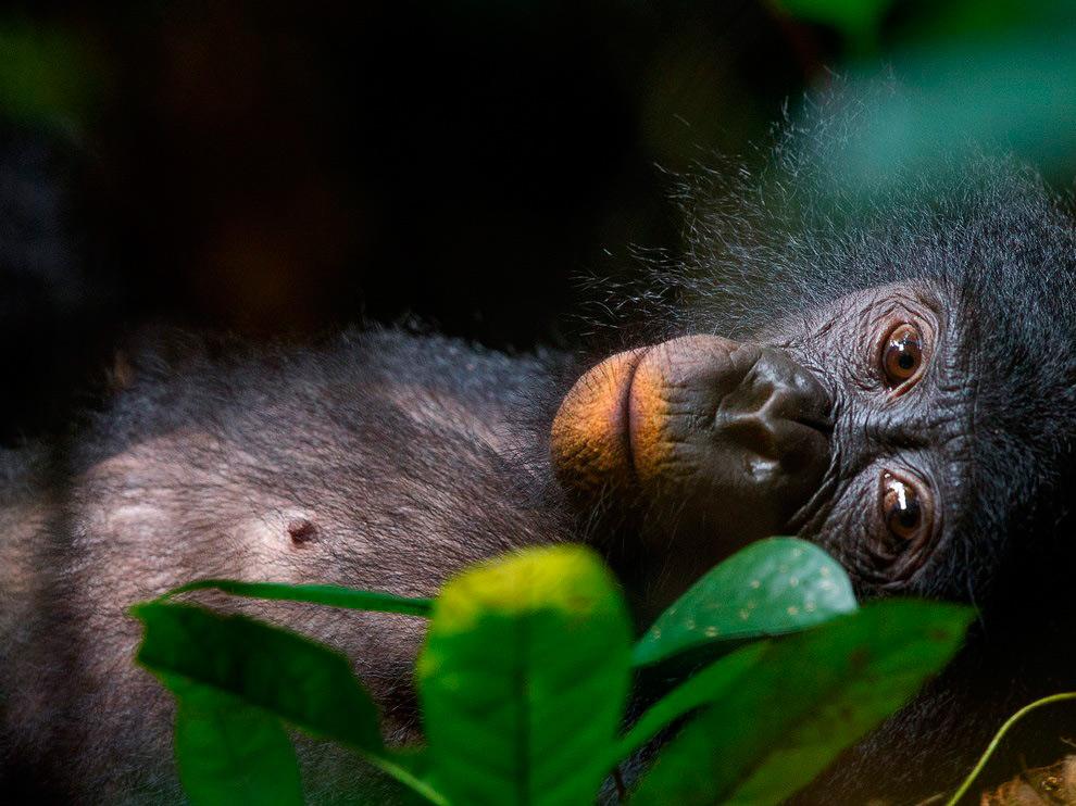 Самка бонобо, Конго