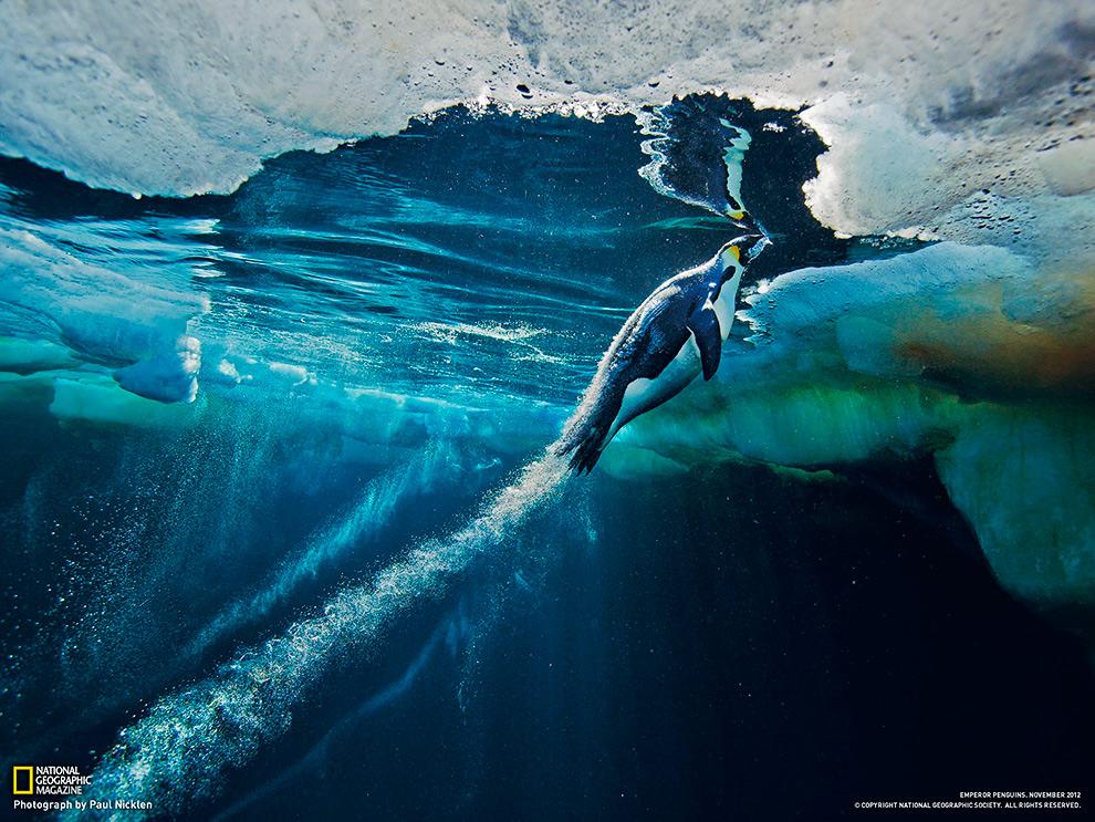 Императорский пингвин в Антарктиде выпрыгивает из воды на лед