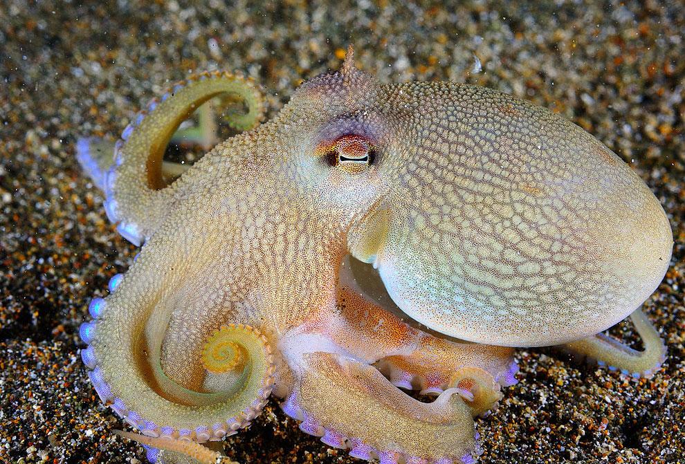 Кокосовый осьминог