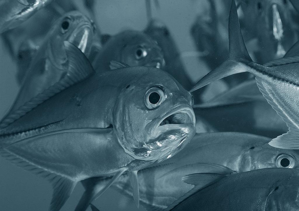 Каранкс — крупная хищная рыба