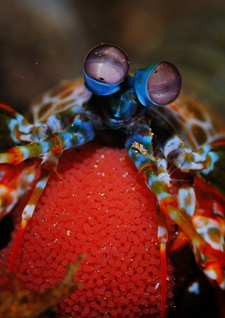 Морской рак-богомол (Peacock mantis shrimp или Odontodactylis scyllarus)