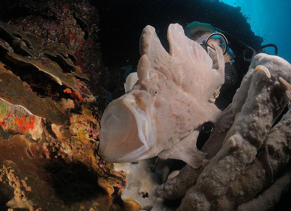 Гигантская рыба-лягушка