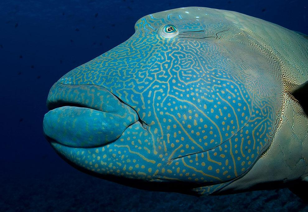 Наполеон (лат. Cheilinus undulatus, англ. Humphead wrasse)
