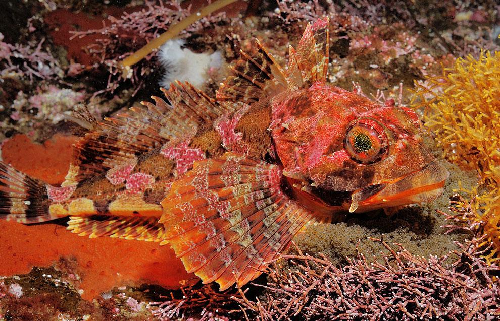 Получешуечник Гилберта на красной водоросли