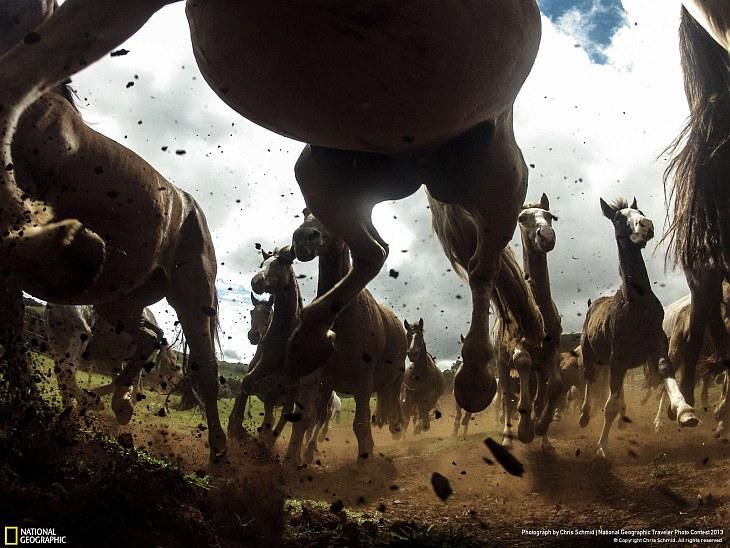 Сила лошадей породы криолло