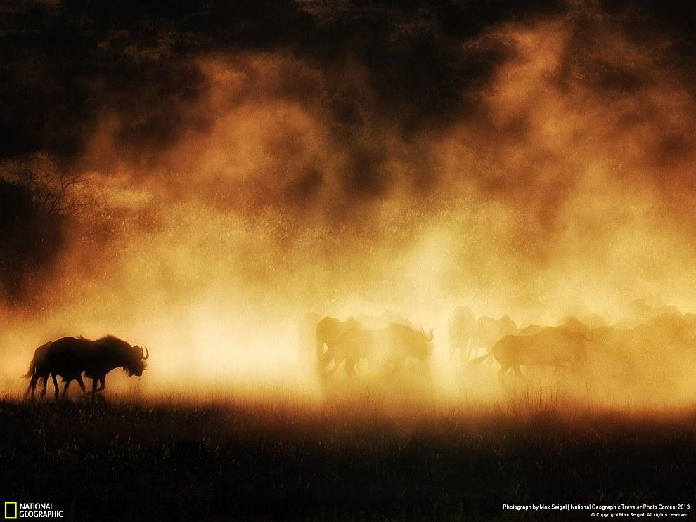 Стадо антилоп гну поднимают пыль на закате