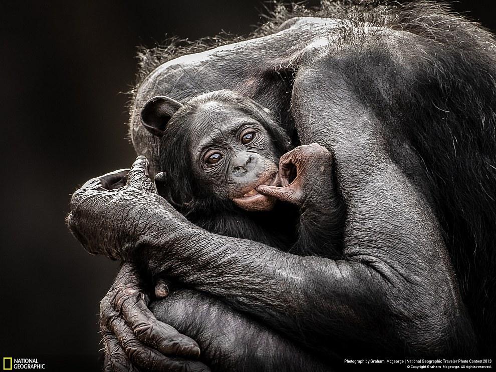 Обезьяньи объятия. Зоопарк в Джэксонвилле, штат Флорида