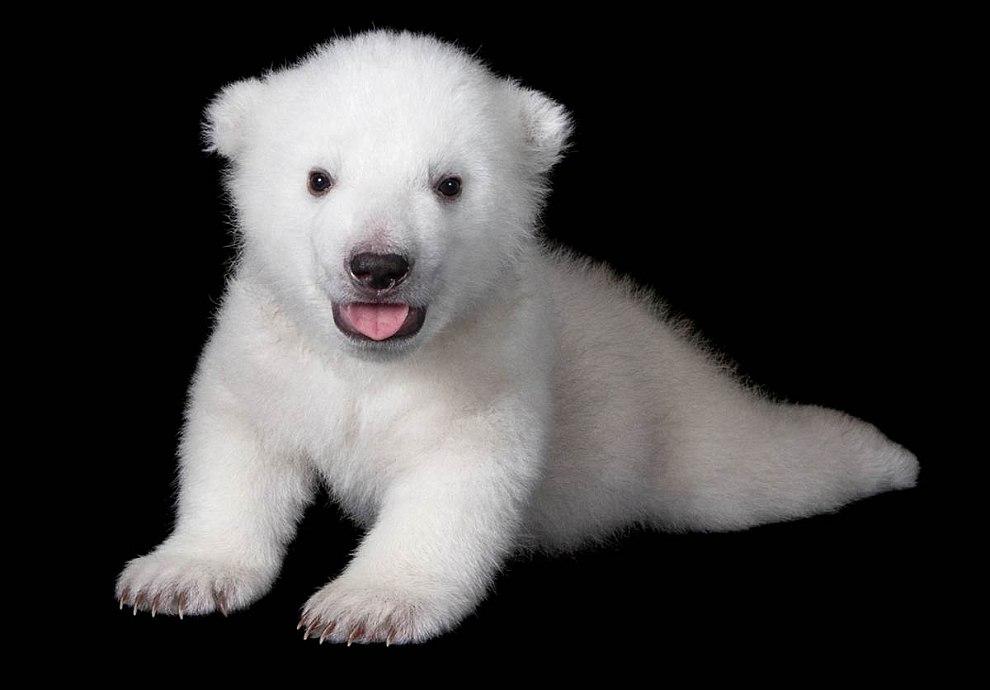 Этот белый медведь родился 1 марта в зоопарке Нью-Йорка