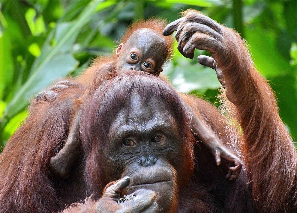 Семья орангутангов из Сингапурского зоопарка