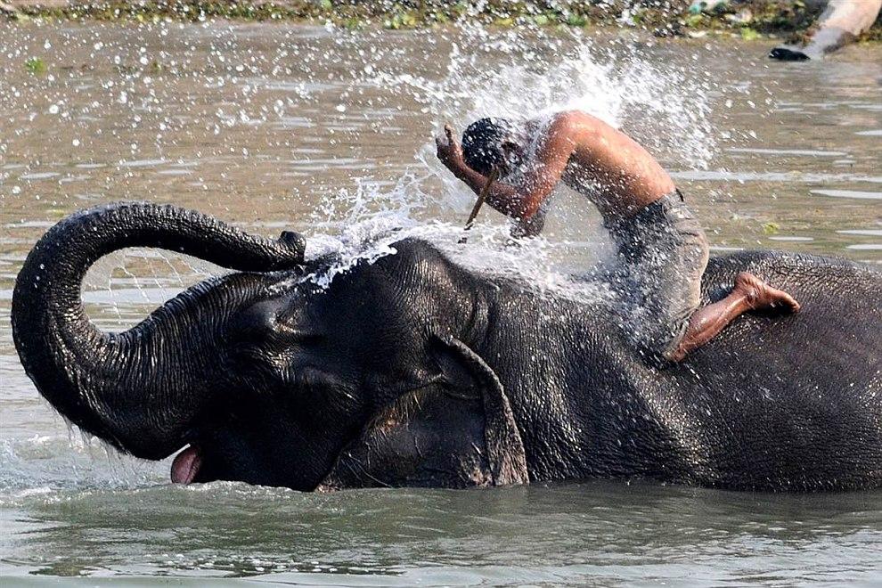 Погонщик обливает водой себя и своего слона