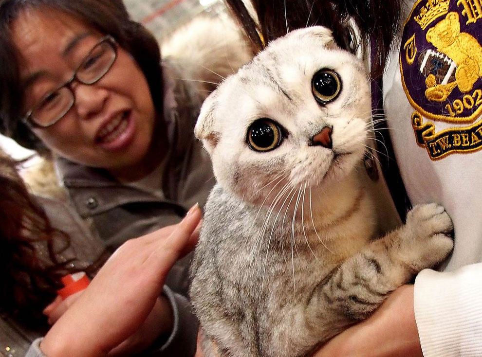 Шотландской вислоухой кошке, кажется, не нравятся внимание, которое она получает в Шанхае на выставке животных
