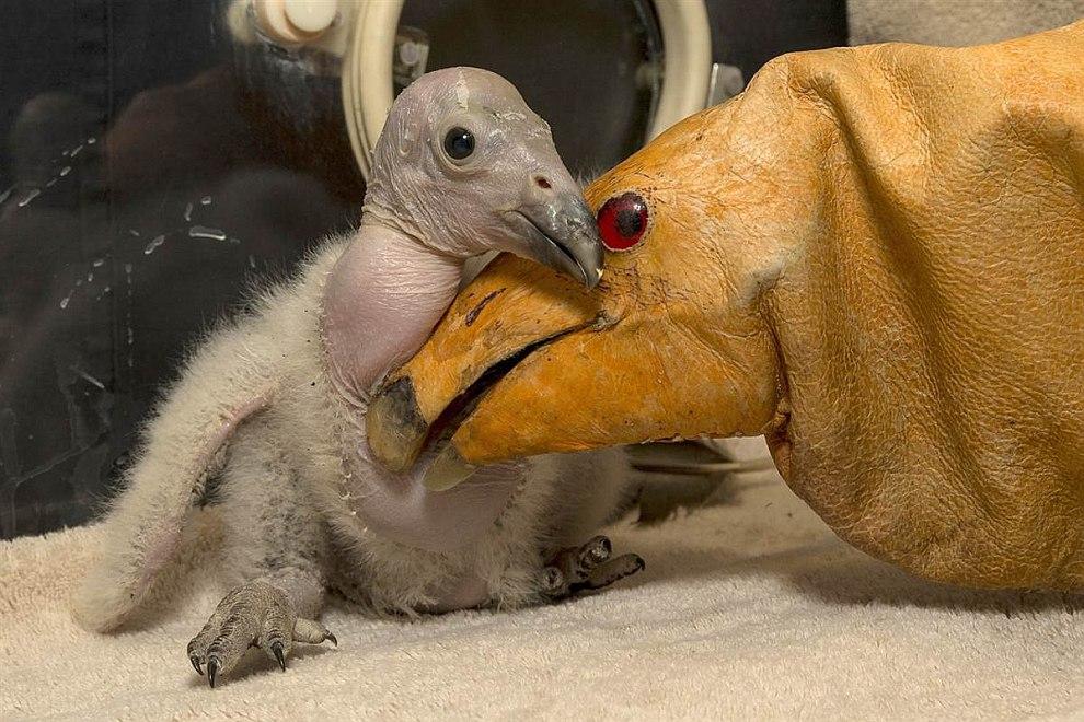 Двухнедельный птенец кондора знакомится с куклой зоопарке Сан-Диего