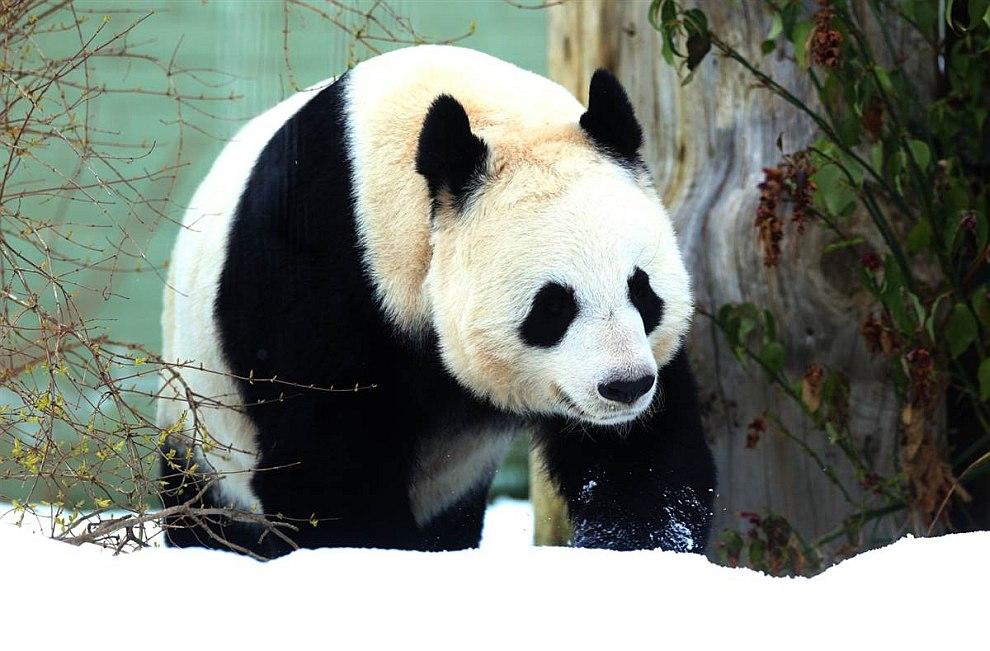 Довольная панда