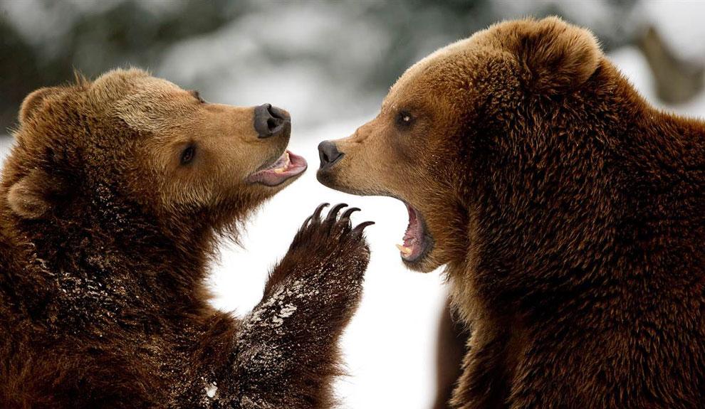 бурые медведи в зоопарке в Гамбурге, Германия