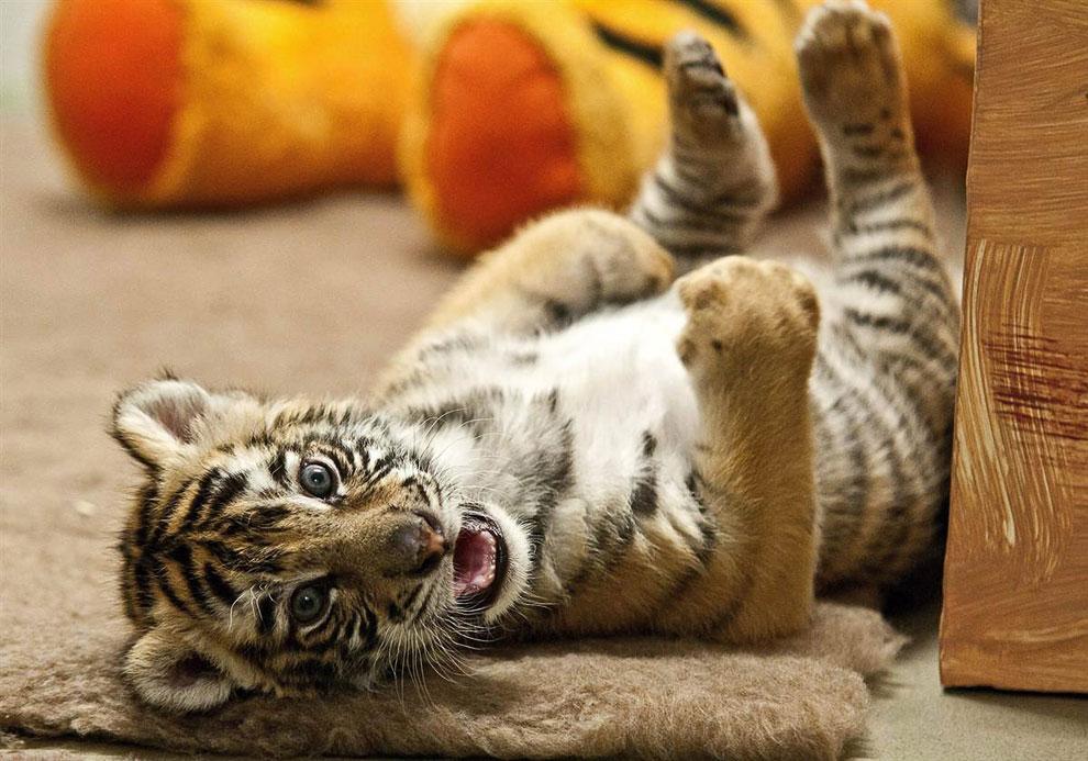 3-недельного детеныша бенгальского тигра в люксовом помещении в зоопарке Дьер, Венгрия