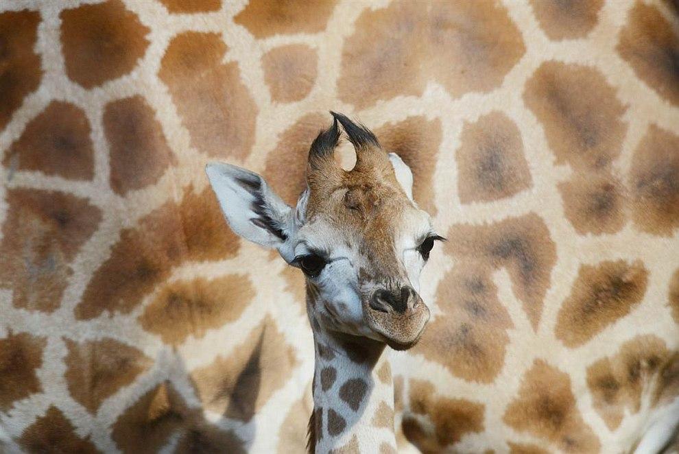 Семья жирафов Ротшильда в пражском зоопарке