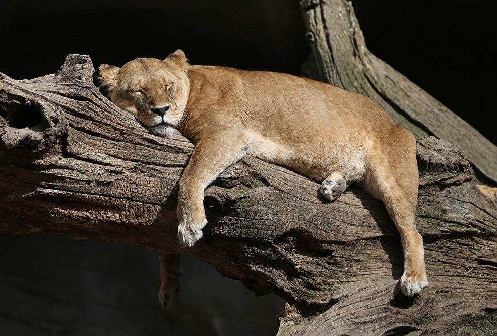 Львица из зоопарка в Гамбурге, Германия