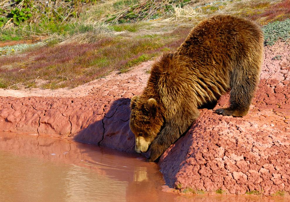 Знакомьтесь, медведь гризли