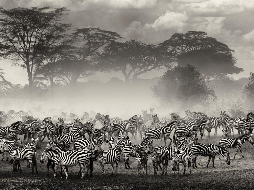 Зебры и антилопы гну собирались на берегу реки, ожидая подходящего момента, чтобы пересечь ее