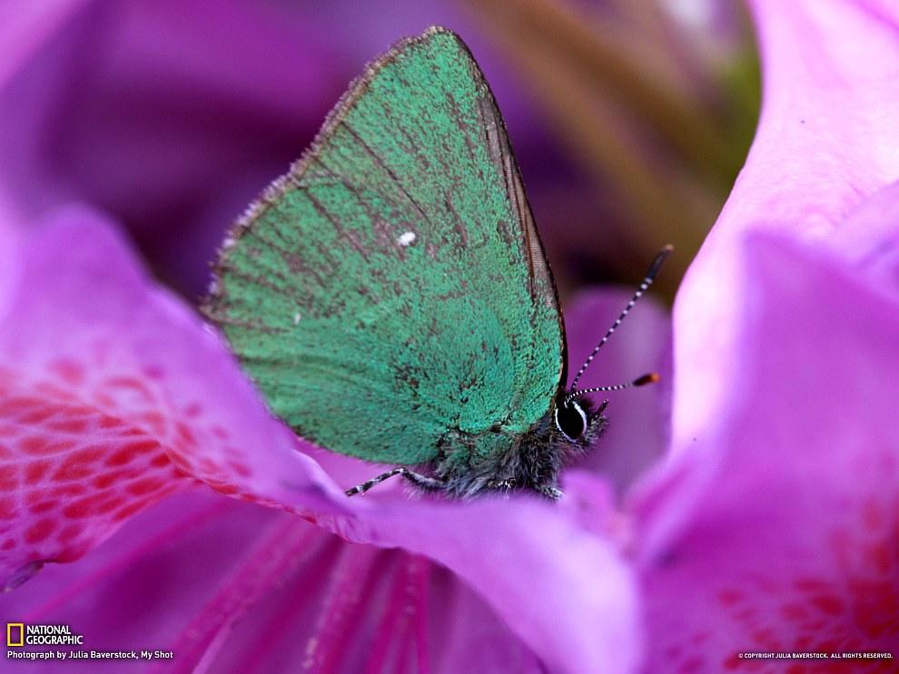 Бабочка и рододендрон