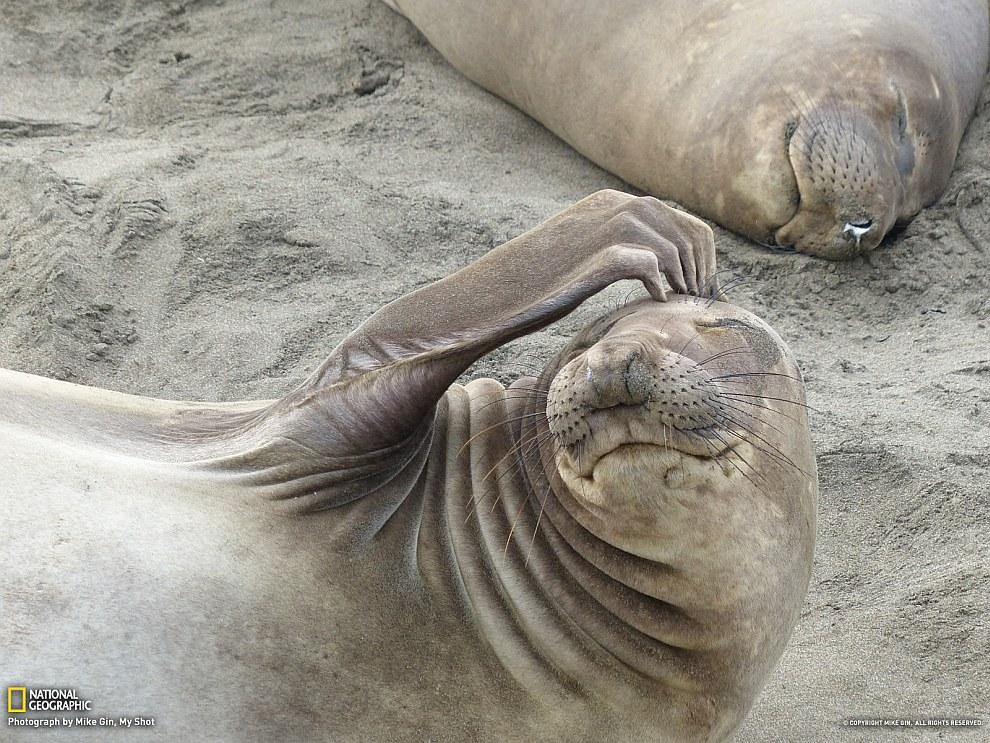 Морские слоны на пляже в Сан-Симеоне, Калифорния
