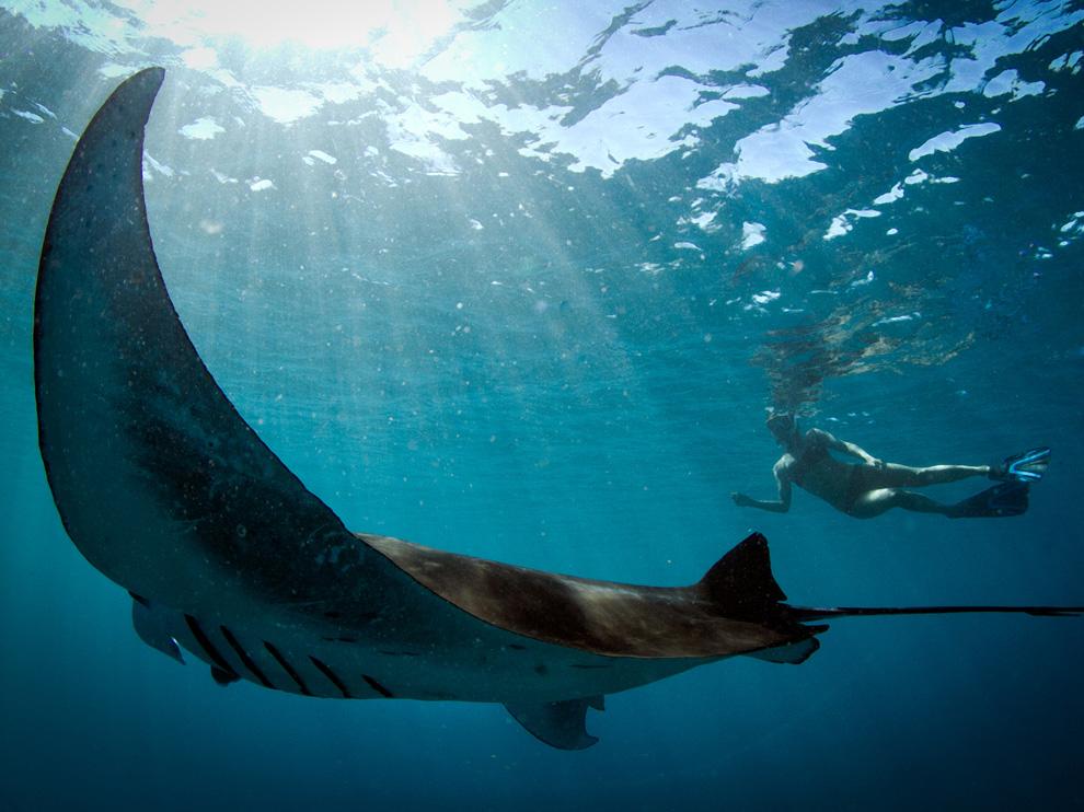 Манта, или гигантский морской дьявол