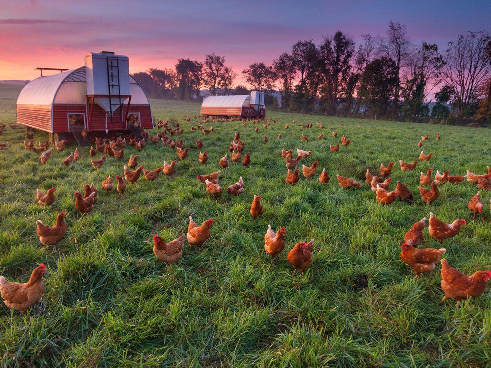 Куриная ферма, Пенсильвания