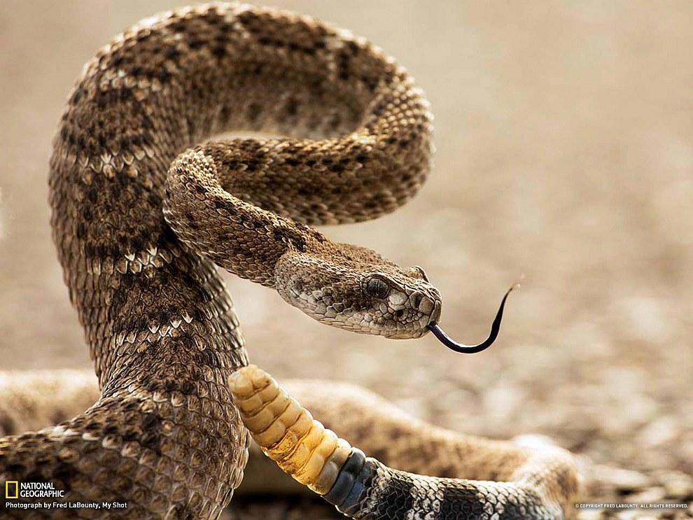Алмазная гремучая змея