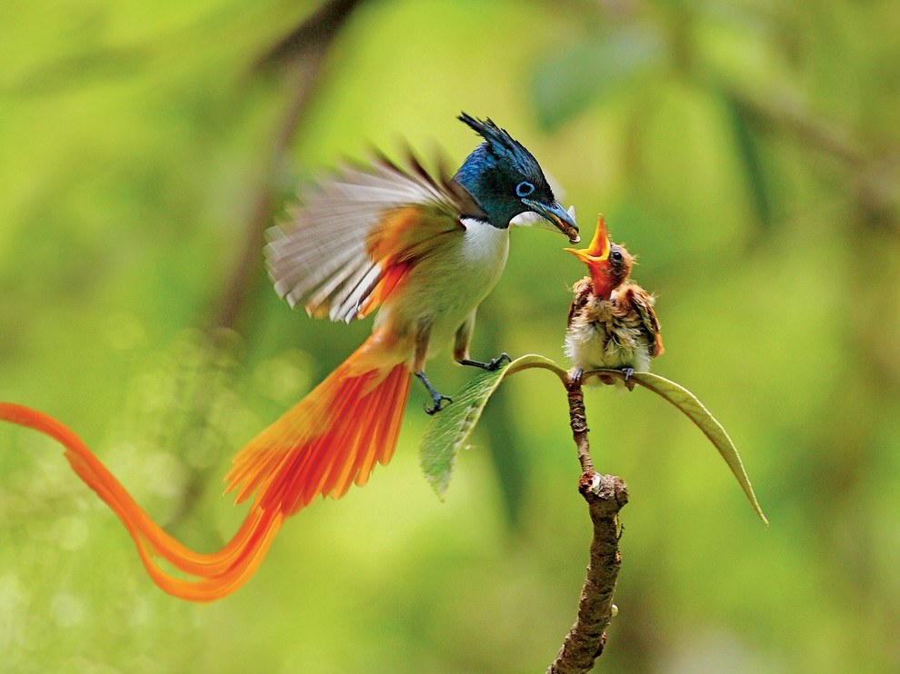 Райская мухоловка, Пакистан