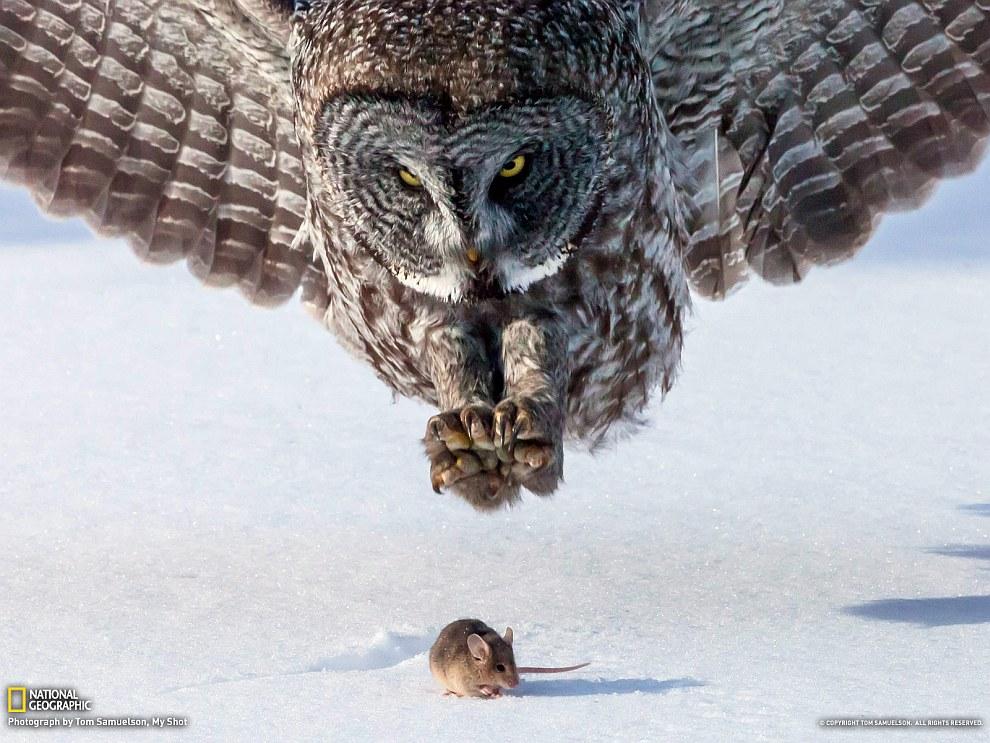 Охота серой совы в штате Миннесота
