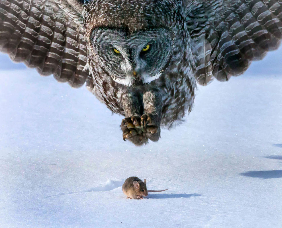 Охота совы