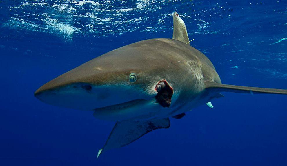 Этот морской гигант пострадал в стычке со своими акульими собратьями