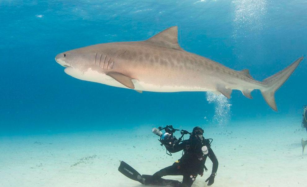 Акула-тигр
