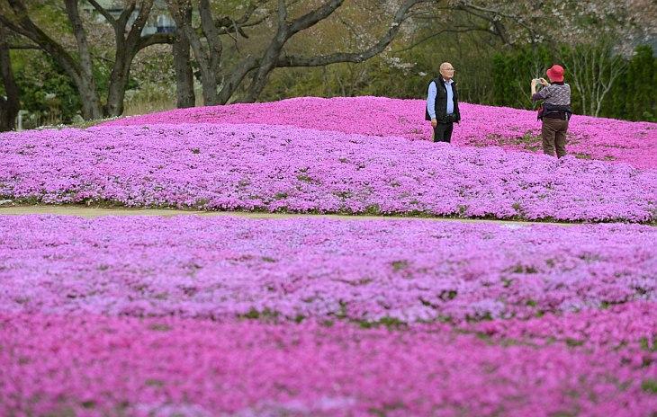 400 000 флоксов в саду в префектуре Гумма, 80 км к северу от Токио