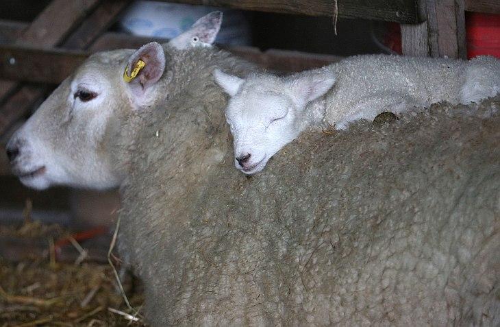 Новорожденный ягненок с мамой на ферме в деревне Уилтшир Эдингтон, Англия