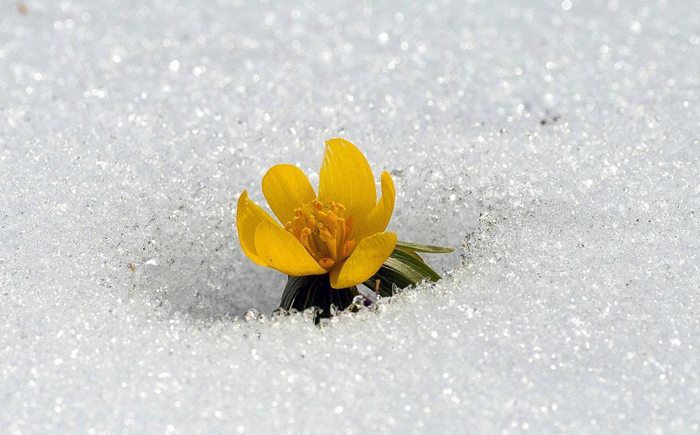 Весенник из  рода многолетних растений семейства Лютиковые