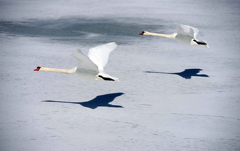 Лебеди над замерзшим Балтийским морем в порту Штральзунда, Германия